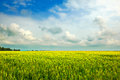 Free The Wheat Field Royalty Free Stock Images - 33409249