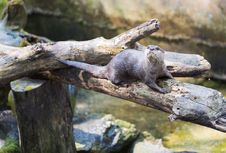 Free Spotted-necked Otter &x28;Lutra Maculicollis&x29; Stock Images - 33408504