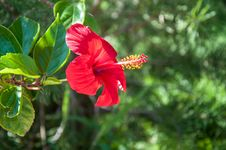 Free Hibiscus Chinese Or Chinese Rose Royalty Free Stock Photos - 33411818