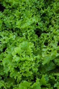 Free Greens Lettuce Stock Image - 33416111