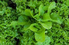 Free Greens Lettuce Royalty Free Stock Photo - 33416115