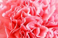 Free Carnation Flower Royalty Free Stock Photo - 33417065