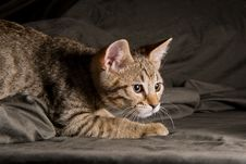 Free Little Kitten In A Funny Pose Royalty Free Stock Photos - 33417738