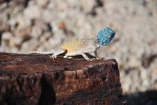 Free Lizard At Petrified Forest, Khorixas, Namibia Stock Images - 33421284
