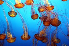Free Pacific Sea Nettle Stock Photo - 33423530