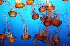 Free Pacific Sea Nettle Stock Photo - 33423530