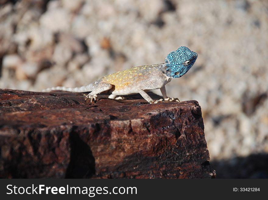 Lizard at Petrified Forest, Khorixas, Namibia