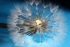 Free Dandelion Seed Royalty Free Stock Photos - 33456628