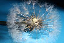Free Dandelion Seed Royalty Free Stock Photos - 33456628