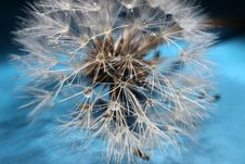 Free Dandelion Seed Royalty Free Stock Photography - 33456757