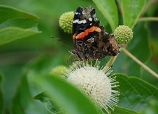 Free Red Admiral Butterfly On Button Bush Royalty Free Stock Photo - 33456955