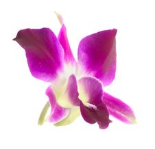 Free Pink Orchid Isolated Royalty Free Stock Images - 33457759
