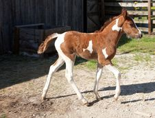 Free Pinto Foal Royalty Free Stock Photography - 33459887
