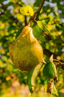 Free Gold Pear Stock Images - 33465924