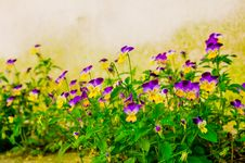 Free Yellow Violet Pansies Royalty Free Stock Photography - 33466047