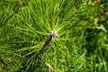 Free Pine Needles Stock Photos - 33470013