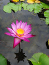 Free The Pink Water Lily Stock Photos - 33470423