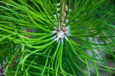 Free Pine Needles Stock Photo - 33470010