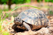 Free Portrait Of An Adult Turtle On Land Dry Foliage Stock Photo - 33472200