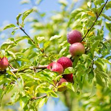 Free Ripe Apple Tree Brunch Royalty Free Stock Photography - 33472217