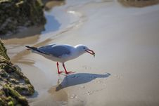 Free Seagull Holding Crab Royalty Free Stock Photography - 33473177