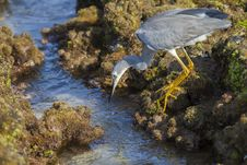 Free Little Egret Hunting Royalty Free Stock Image - 33473226