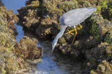Free Little Egret Hunting Stock Photo - 33473290