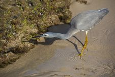 Free Little Egret Hunting Stock Photo - 33473390