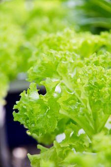 Free Hydroponics Vegetable Farm Stock Images - 33475744