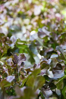Free Hydroponics Vegetable Farm Royalty Free Stock Photography - 33475827
