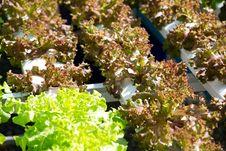 Free Hydroponics Vegetable Farm Stock Photography - 33475912