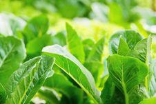 Free Hydroponics Vegetable Royalty Free Stock Photo - 33475975