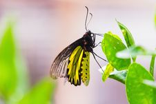 Free Male Golden Birdwing Butterfly Royalty Free Stock Photography - 33476927
