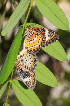Free Leopard Lacewing Butterflies Stock Image - 33476961