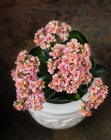 Free Multi-colored Kalanchoe In A White Pot Royalty Free Stock Photo - 33478215