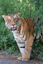 Free Majestic White Royal Bengal Tiger In A Dense Deciduous Forest Stock Image - 33480331