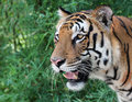 Free Face Of Majestic White Royal Bengal Tiger Looking For Prey Royalty Free Stock Photos - 33480358