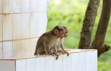 Two Young Indian Rhesus Macaque Monkeys &x28;macaca Mulatta&x29; Playing Stock Photos