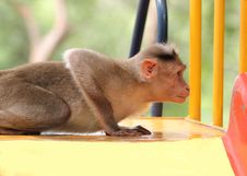 Free Indian Rhesus Macaque Monkey &x28;macaca Mulatta&x29; Playing In A Park Royalty Free Stock Image - 33480316