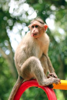 Free Indian Rhesus Macaque Monkey &x28;macaca Mulatta&x29; With Funny Face Stock Images - 33480334