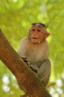 Free Indian Rhesus Monkey&x28;macaque&x29; Also Called Macaca Mulatta Royalty Free Stock Photo - 33480335