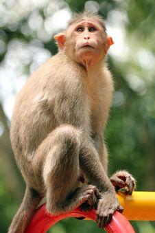Free Indian Rhesus Macaque Monkey &x28;macaca Mulatta&x29; In A Park Stock Photos - 33480343
