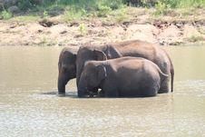 Free Three Indian Elephants&x28;Elephas Maximus Indicus&x29; Stock Photo - 33480350
