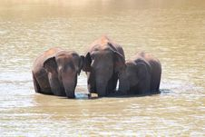 Free Three Majestic Indian Elephants&x28;Elephas Maximus Indicus&x29; In Lake Royalty Free Stock Images - 33480369
