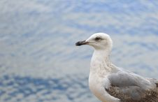 Free Seagull Royalty Free Stock Image - 33488166
