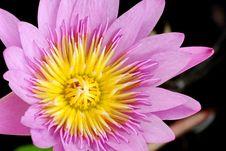 Free Lotus Stock Photos - 33489193