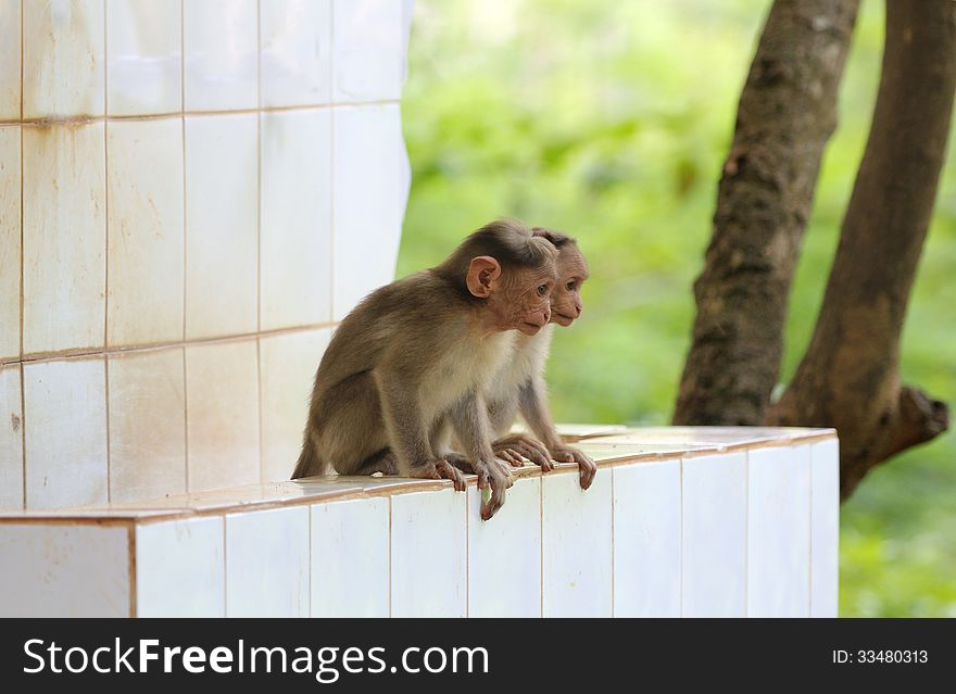 Two young indian rhesus macaque monkeys &x28;macaca mulatta&x29; playing