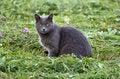 Free Gray Cat Royalty Free Stock Photography - 33495347