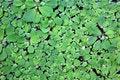 Free Duckweed Royalty Free Stock Photos - 33497998