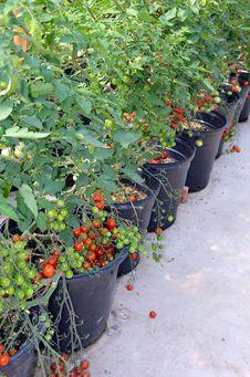 Free Pots Of Cherry Tomato Plants Royalty Free Stock Photos - 33490018